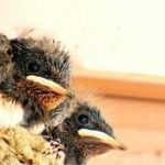 ツバメの巣作り 時期や巣立ちまでの期間、生態や寿命はどれくらい?